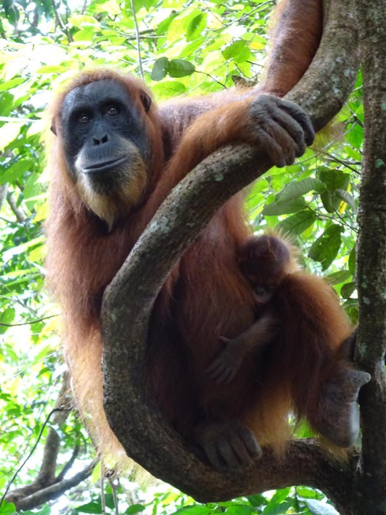 Femelle Orang-Outan et son bébé