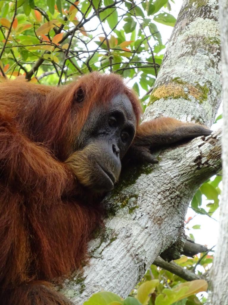 Femelle Orang-Outan